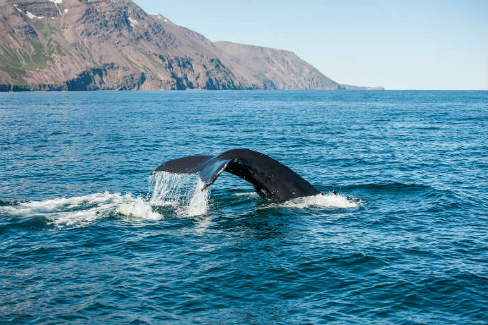 Whale-watching, Reykjavik city break