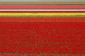 Red Tulips Netherlands