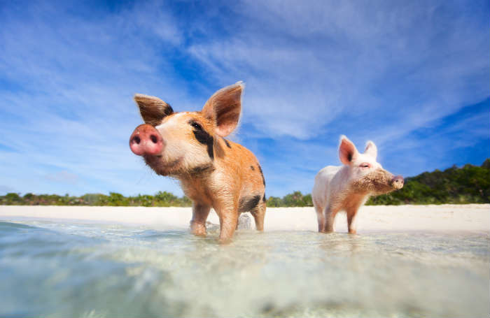 around-the-world-in-80-pictures-pig-island-bahamas