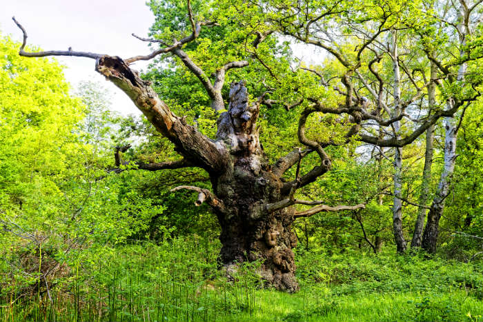 Giant oak tree in Sherwood Forest