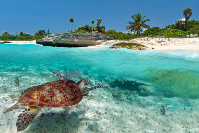 Turtle in Caribbean Sea, Mexico